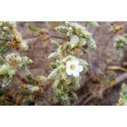 FLOR DE ARENA – RAW řezaná nadzemní část rostliny