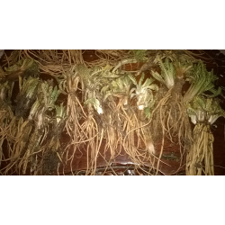 VALERIANA ANDINA – RAW Prášek zmletého suchého listu